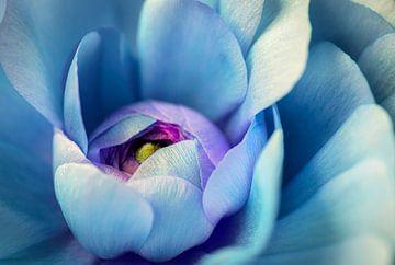 Herz einer blauen Rose von Rietje Bulthuis