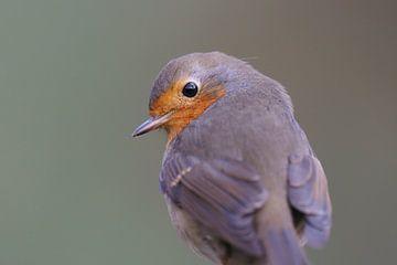 Robin takes a peek. von Astrid Brouwers