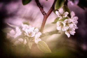 Birnenblüten im sanften Licht