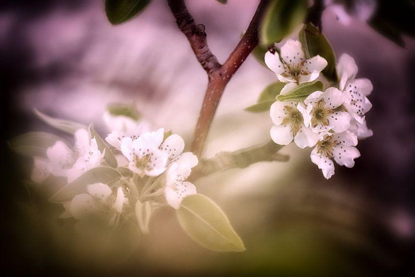 Birnenblüten im sanften Licht von Nicc Koch