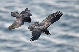 Twee Raven in vlucht
