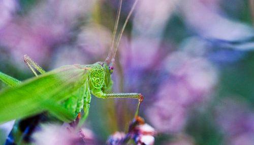 Grasshopper in Spring