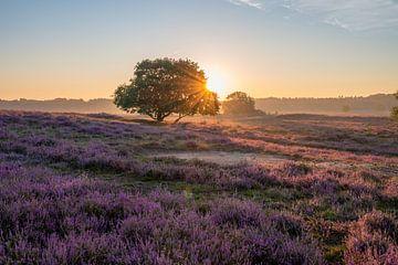 Bloeiende heide tijdens zonsopkomst van Tim Vlielander
