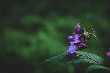 Violette Blume im Fokus von Laura Reedijk