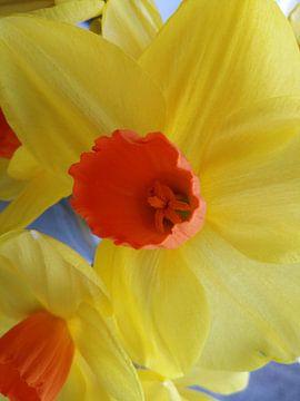 Narcis 1 van Karen Bos