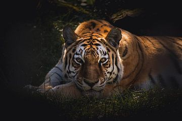 Beautiful tiger watching you van Sandra H6 Fotografie
