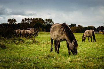 Herde, die Konik-Pferde frisst von Linsey Aandewiel-Marijnen