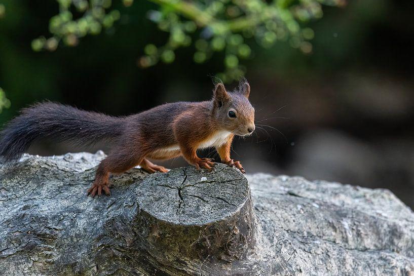 Eichhörnchen von Robbie Nijman