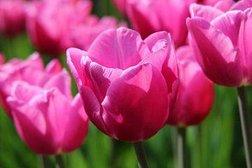 roze tulpen van laura van klooster
