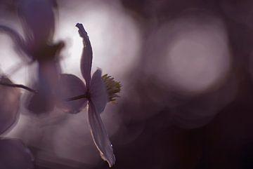 Dromerige opname van de Clematis ( lila) van Birgitte Bergman