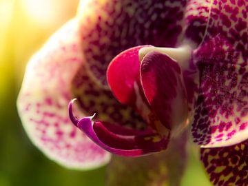 Orchidee / Bloem / Bloemblaadje / Blad / Natuur / Licht  / Roze / Paars / Groen / Close-Up Macro van Art By Dominic