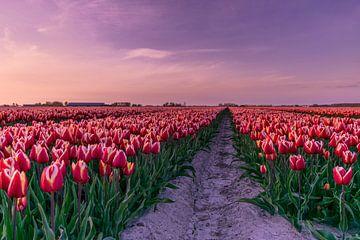Rotes Tulpenfeld von Marjolijn Nugteren