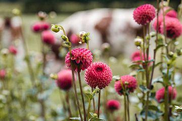 dahlia's en koeien van Fotogreef