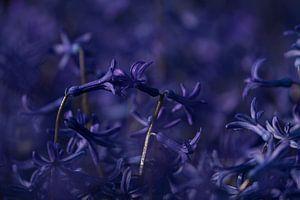 Keukenhof bloemen Paars 3 van Antine van der Zijden