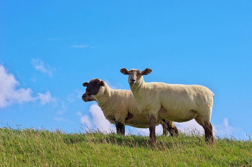 Schafe auf dem Deich  von Angela Dölling