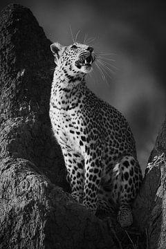 Panting Leopard in Schwarz & Weiß von YvePhotography