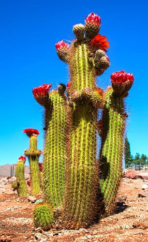 Rood bloeiende cactus in de woestijn, verticale compositie