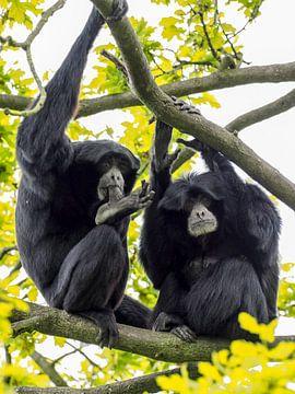 Siamang : Koninklijke Burgers' Zoo van Loek Lobel