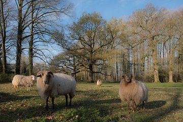 Schapen op Landgoed Soelen von Moetwil en van Dijk - Fotografie
