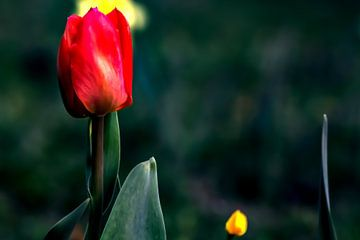 Rote Tulpe von Michael Nägele