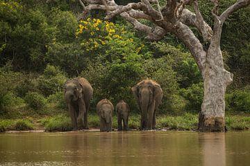 Asiatische Elefanten Sri Lanka von Lex van Doorn