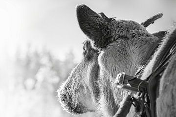 Rentiere für den Schlitten in Finnland von Rietje Bulthuis