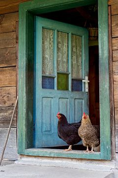 Chicks in the doorway sur