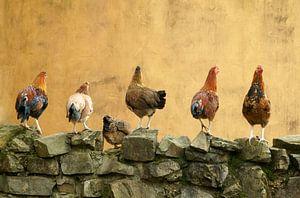 6  kippen op een rij  van