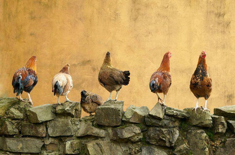 6  kippen op een rij  van Cocky Anderson