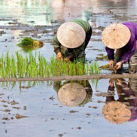 rijst planten van Tilo Grellmann   Photography