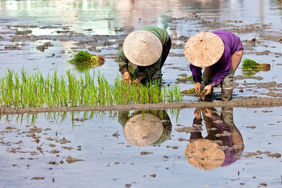 Reis pflanzen