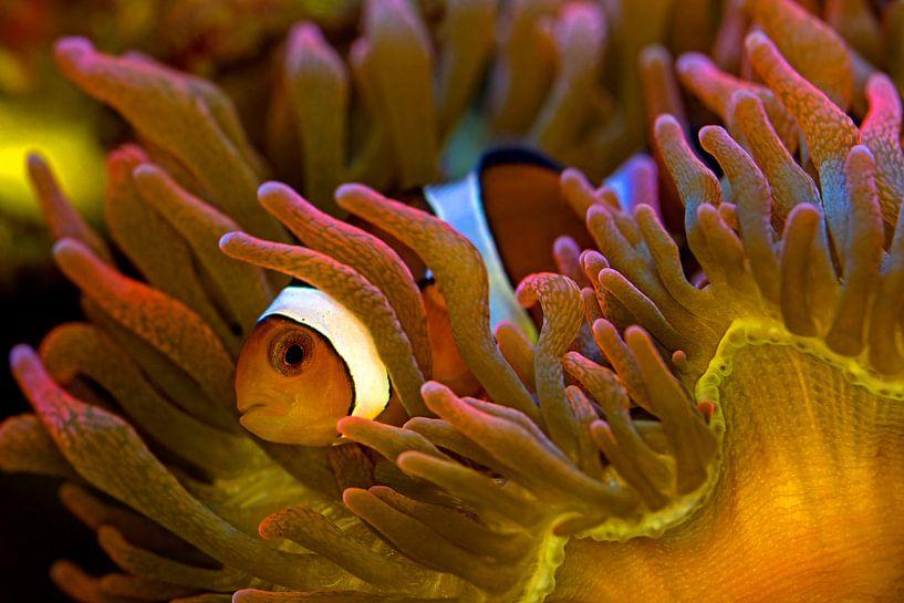 Clown Fish in Anemone van Thomas Herzog