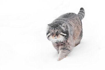 Isoliert auf weißem Schneehintergrund . Schwerer, brutaler, flauschiger Wildkatzenmanul auf weißem S von Michael Semenov
