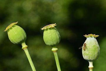 Drie groene onrijpe maanzaadcapsules van Ulrike Leone