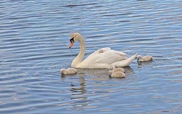 Schwan mit Küken im See von Kristof Lauwers