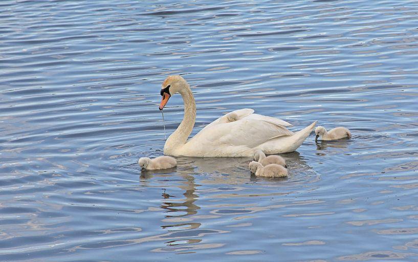 Zwaan met kuikens in het meer van Kristof Lauwers