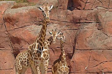 Rothschild giraffe broers von Jos Burger