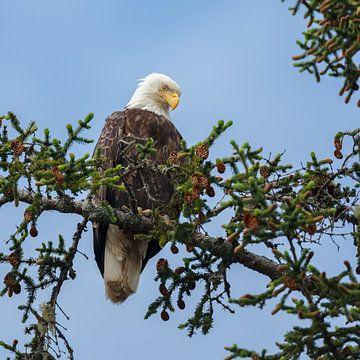 Bald eagle sur Menno Schaefer