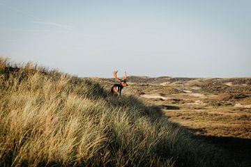 Hirsche in den Dünen von Sarina Dekker