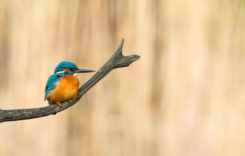 Common Kingfisher! van Robert Kok