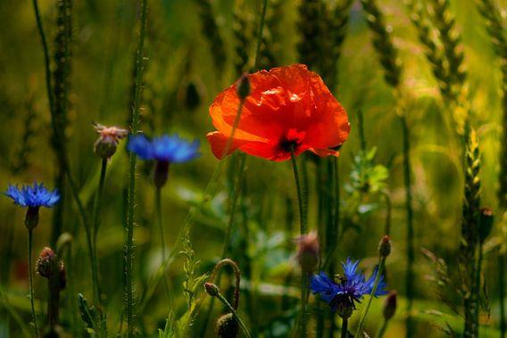 poppy in the  cornfield
