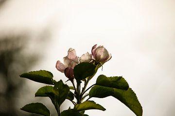 Kirschblüte von Erich Werner