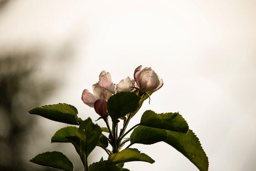 Cherry Blossom van Erich Werner