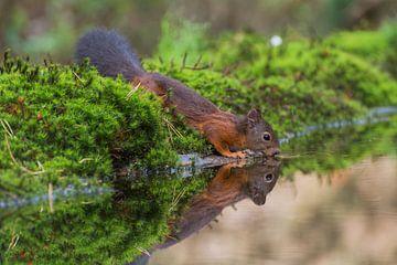 Drinkende eekhoorn /Drinking squirrel van Anna Stelloo