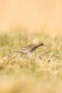 Graspieper staand in het gras van een weiland. Kleine bruine zangvogel met een streep op zijn kop in van Gea Veenstra