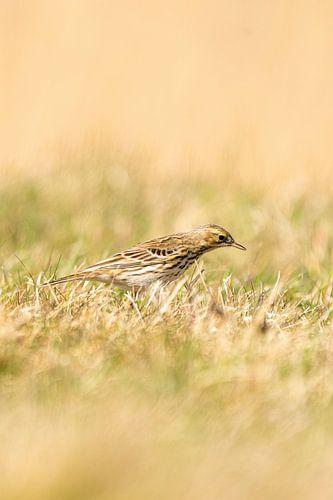 Graspieper staand in het gras van een weiland. Kleine bruine zangvogel met een streep op zijn kop in