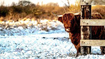 Schotse Hooglanders 2 van Jeanien de Gast