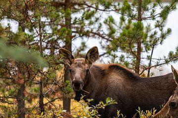 eland jong,  moose, maligne lake van Jessica Jongeneel