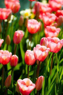 Tulpen V van Rob van der Post