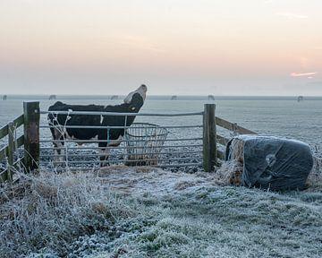 Koeien in de kou ( ochtend rijp ) van Robert Gieling